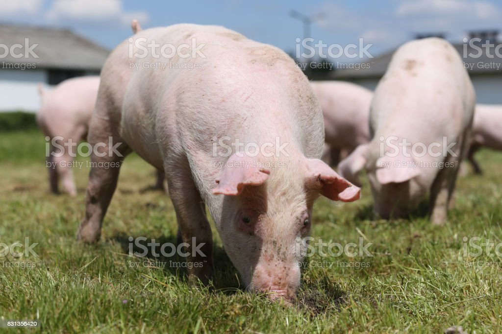 Lovely little pigs grazing on organic farm stock photo