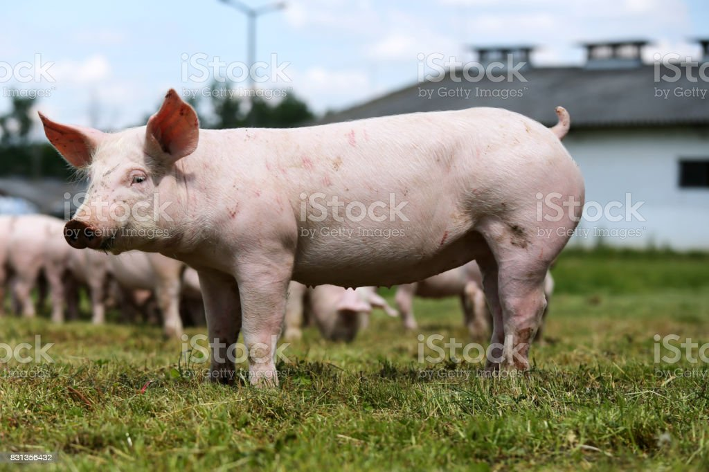Lovely little pigs on organic farm stock photo