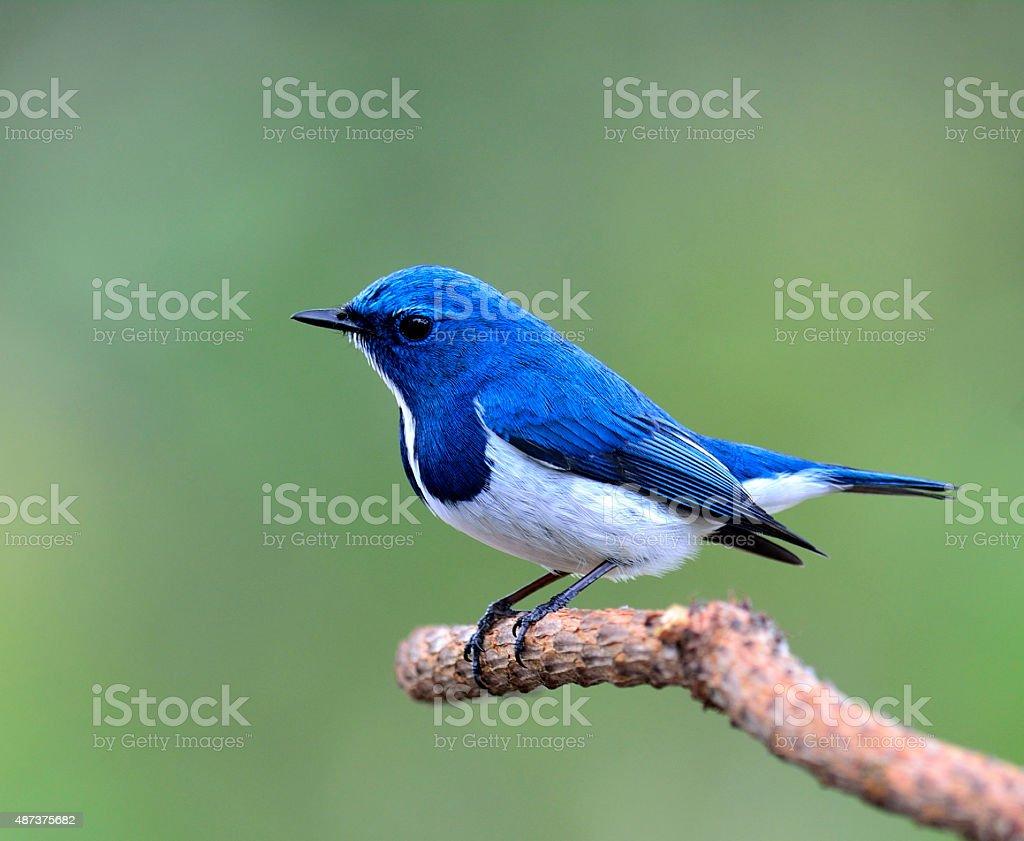 Lovely little Ultramarine flycatcher, beautiful blue bird, posin stock photo