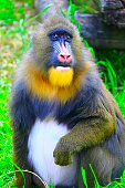 Lovely Mandril primate monkey resting, contemplation eyes, Congo, Africa Equatorial