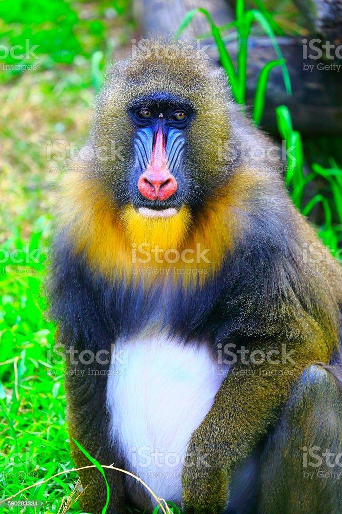 Lovely Mandril primate monkey resting, shy eyes, Congo, Africa Equatorial stock photo