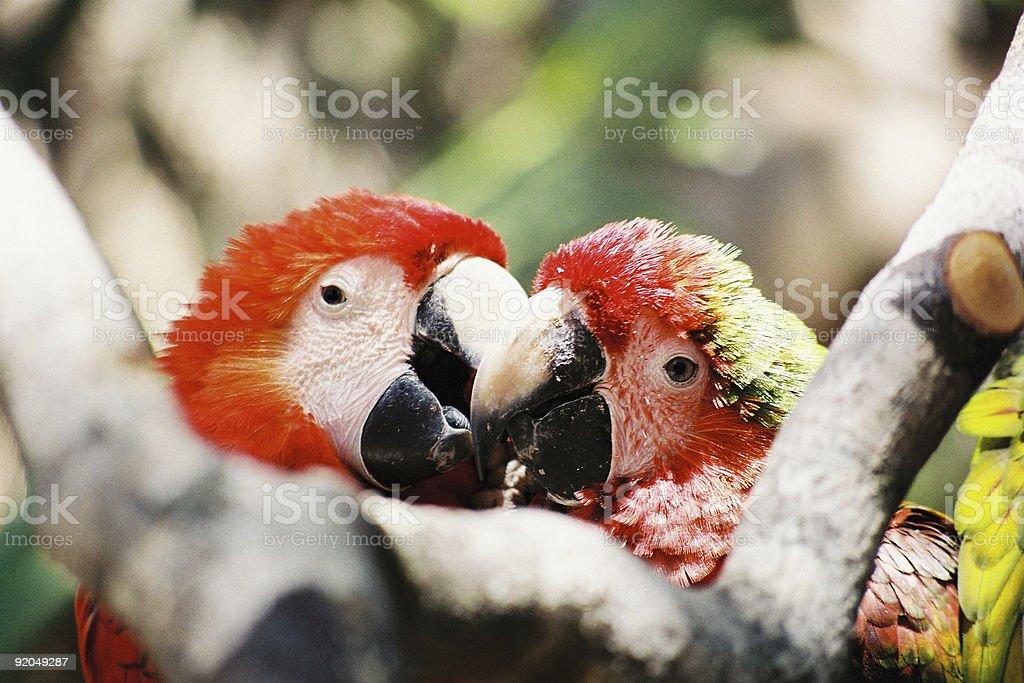 Lovely Parrots royalty-free stock photo