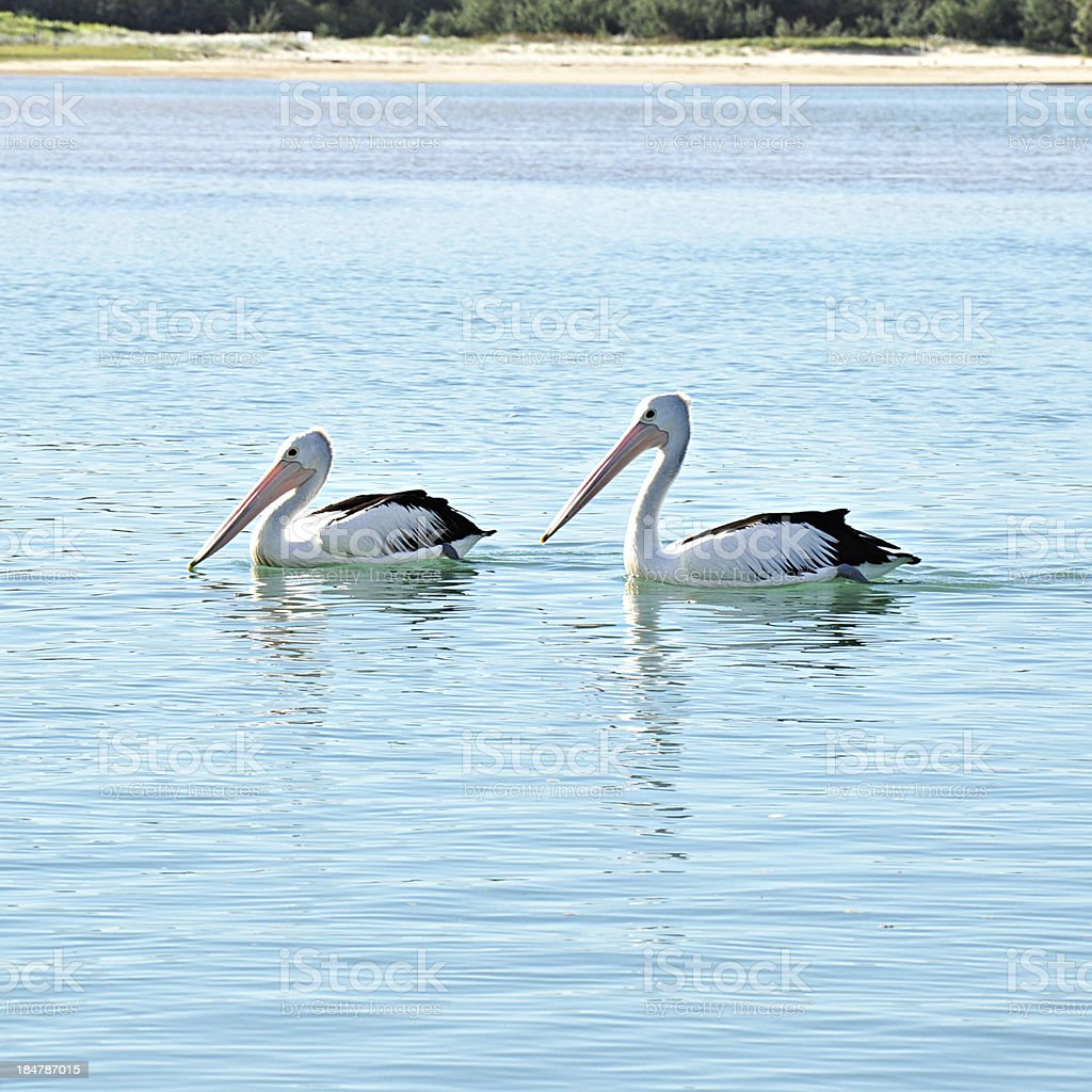 Lovely Pelicans in the lake royalty-free stock photo