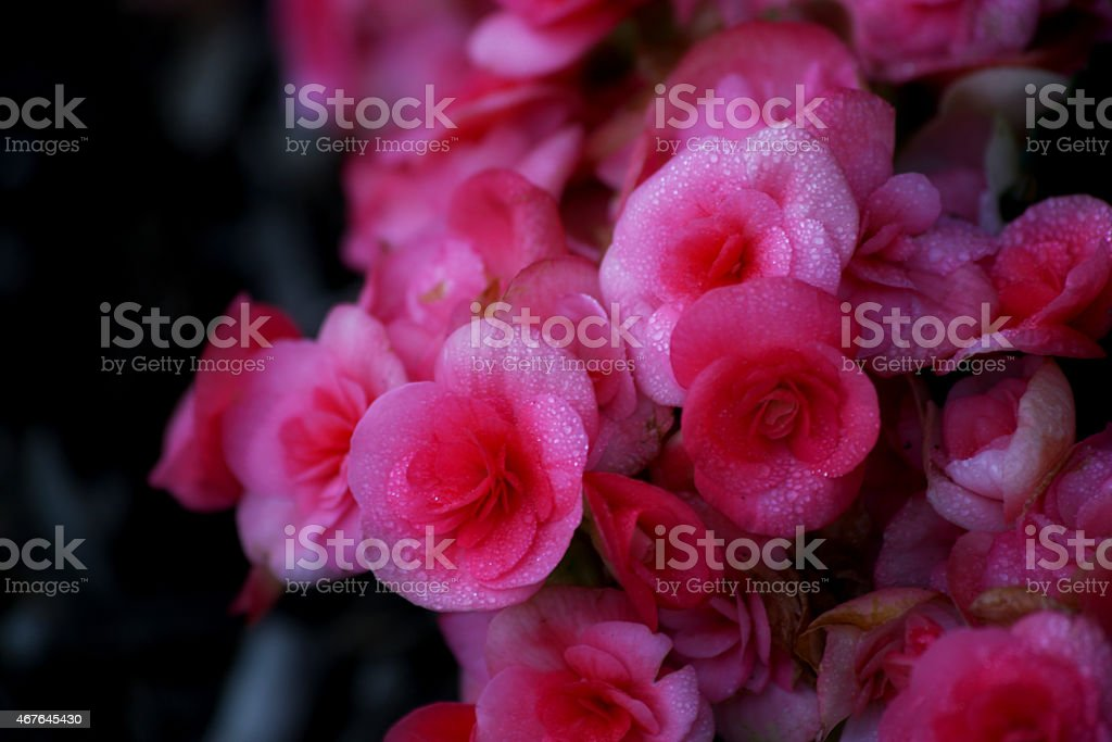 Lovely Pink Begonias stock photo