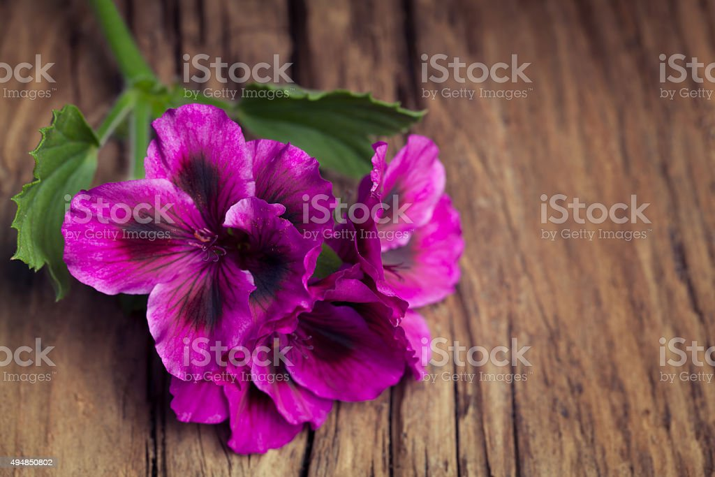 Lovely pink geranium on a vintage wood background stock photo