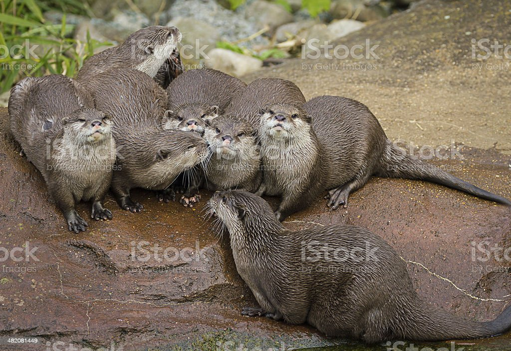 Lovely playful otters stock photo