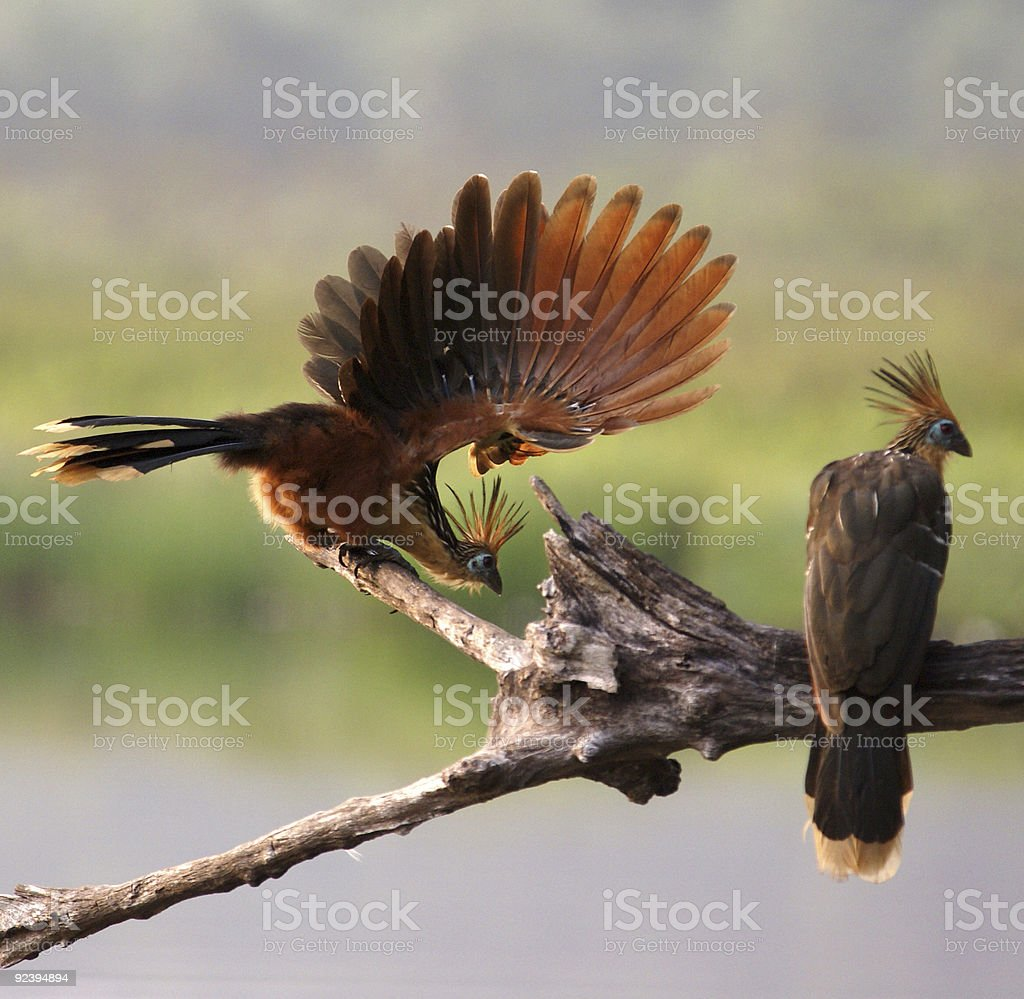 Lovely plumage - hoatzin birds royalty-free stock photo
