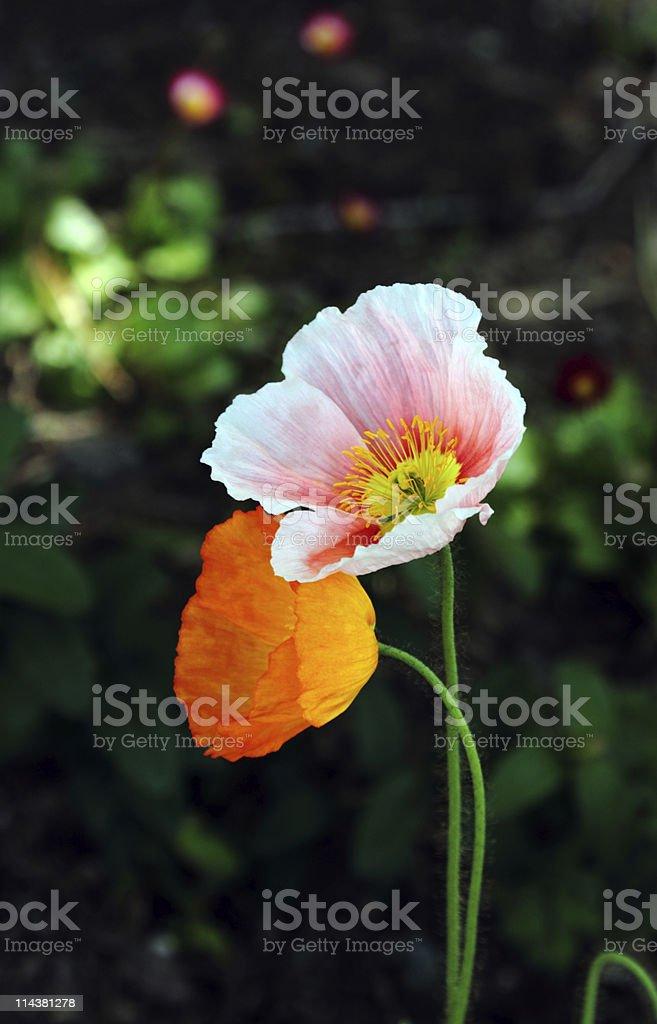 Lovely Poppy Companion royalty-free stock photo