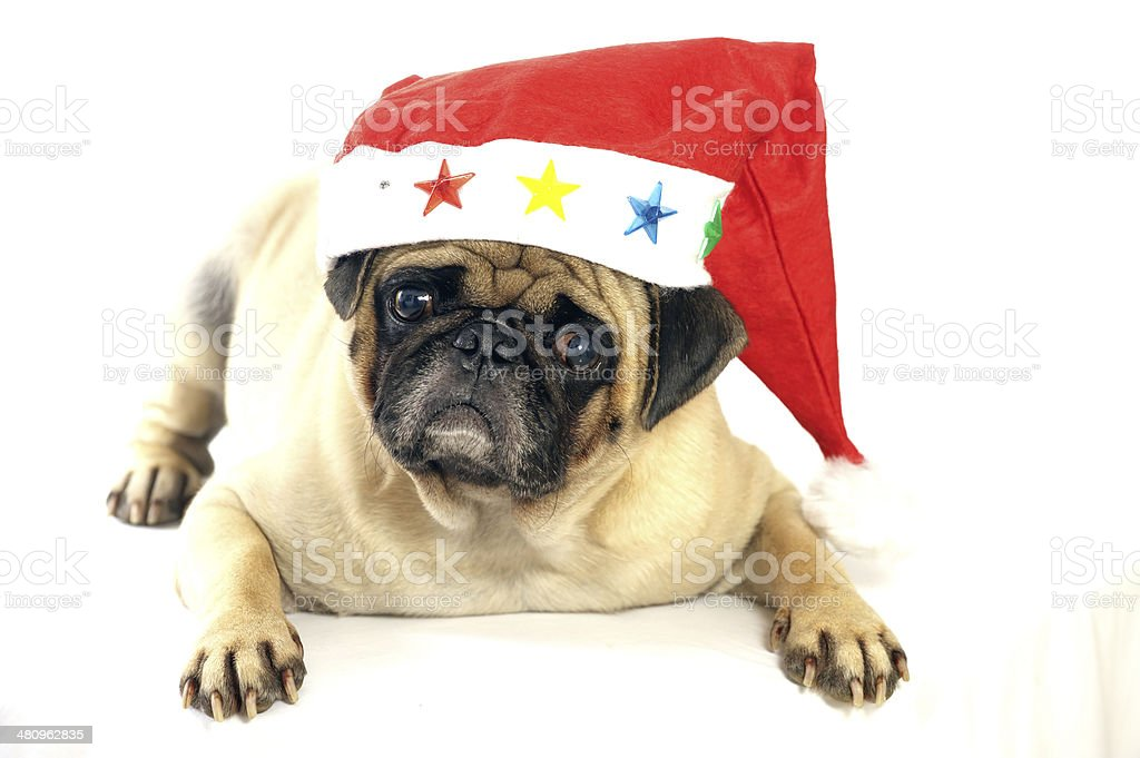 Lovely pug dog sitting royalty-free stock photo