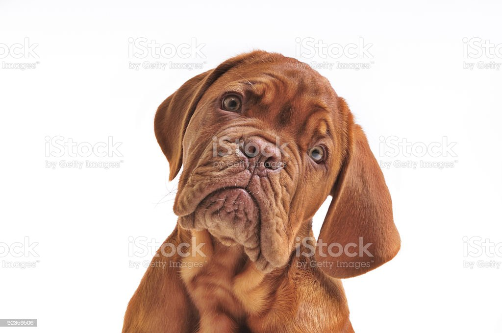 Lovely Puppy Portrait stock photo