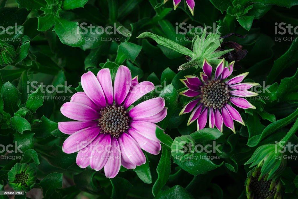 Lovely purple daisy flower stock photo