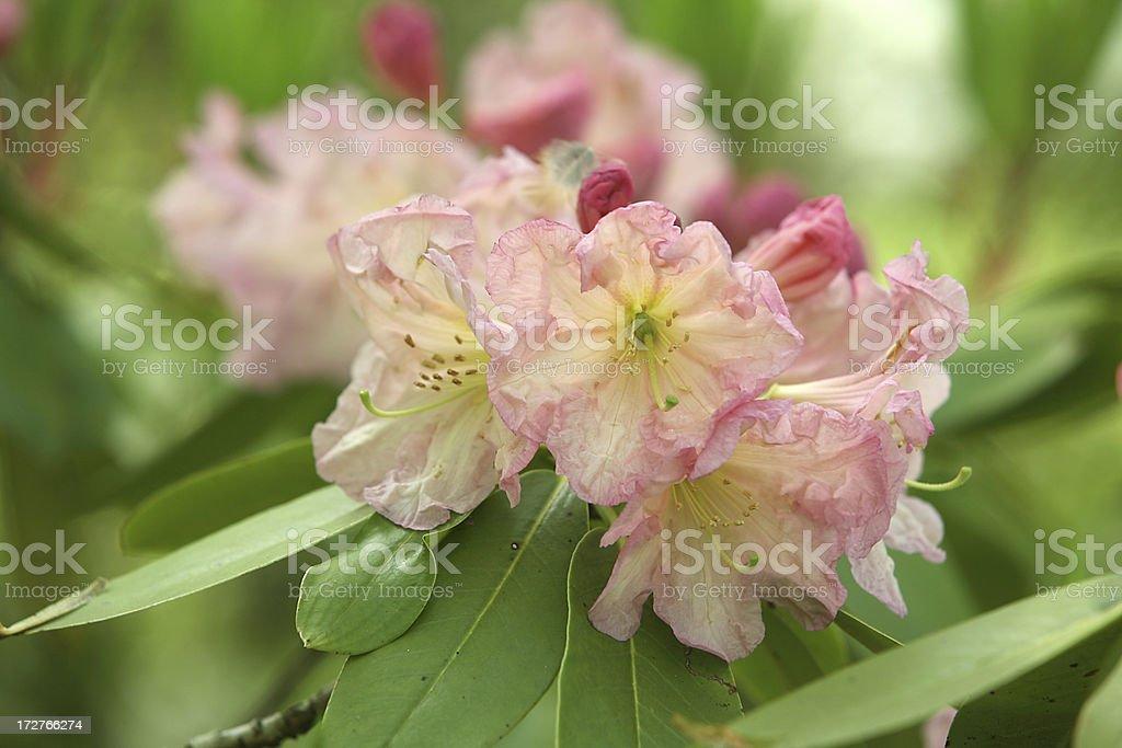 lovely rhododendren stock photo