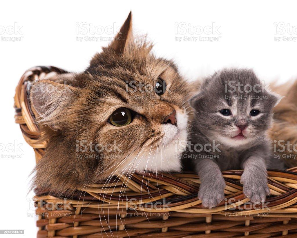 Lovely siberian cat stock photo