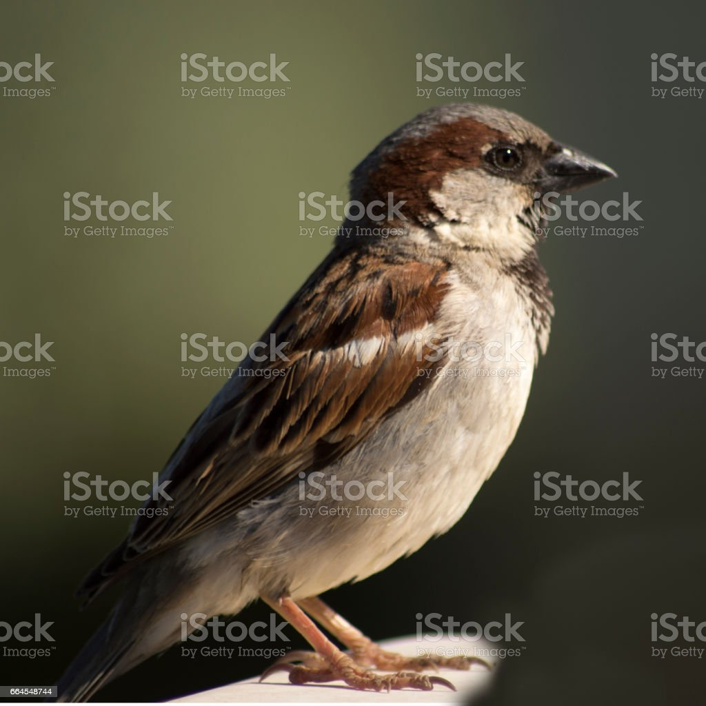 Lovely sparrows are standing on the branch of apple tree stock photo