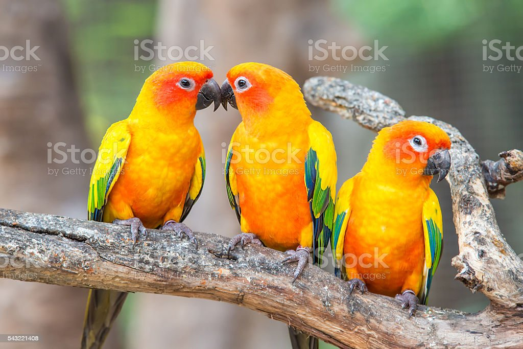 Lovely sun conure parrot birds on the perch. stock photo