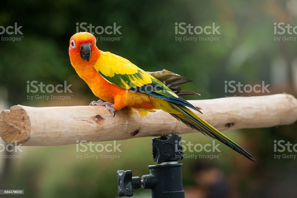 Lovely Sun Conure Parrot on the perch stock photo