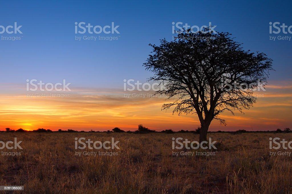 Lovely sunset in Kalahari with dead tree stock photo