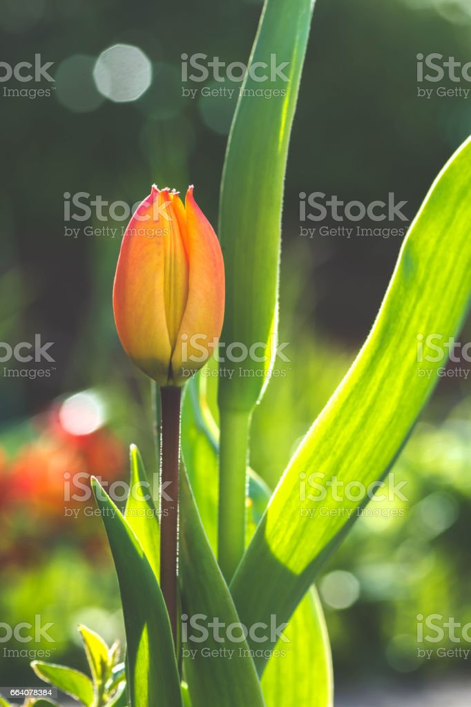 Lovely Tulip Blooms in Spring, Sunshine in the Backgroun stock photo