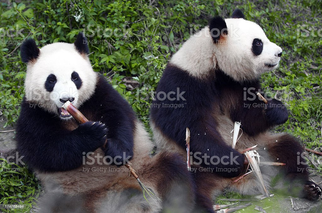 lovely two pandas eating bamboo shoot stock photo