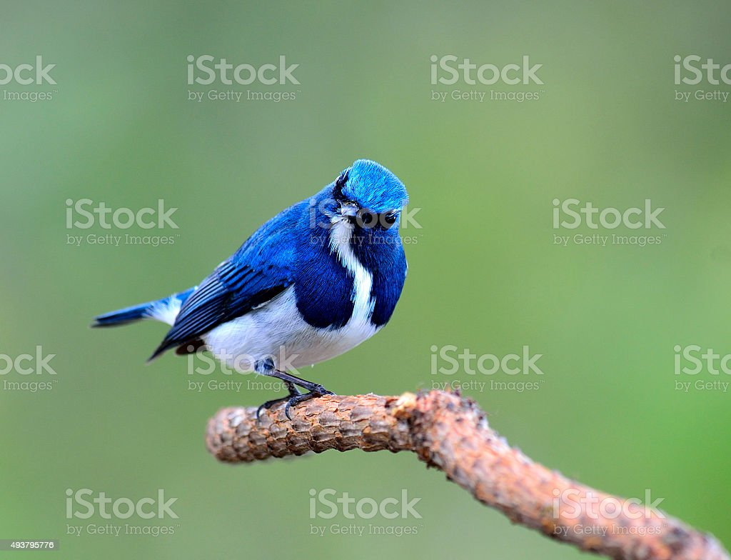 Lovely Ultramarine flycatcher, beautiful blue bird, posing on th stock photo