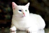 Lovely Van Cat