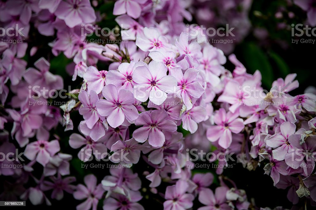 Lovely vibrant close up of Rosy Periwinkle flower in Summer stock photo