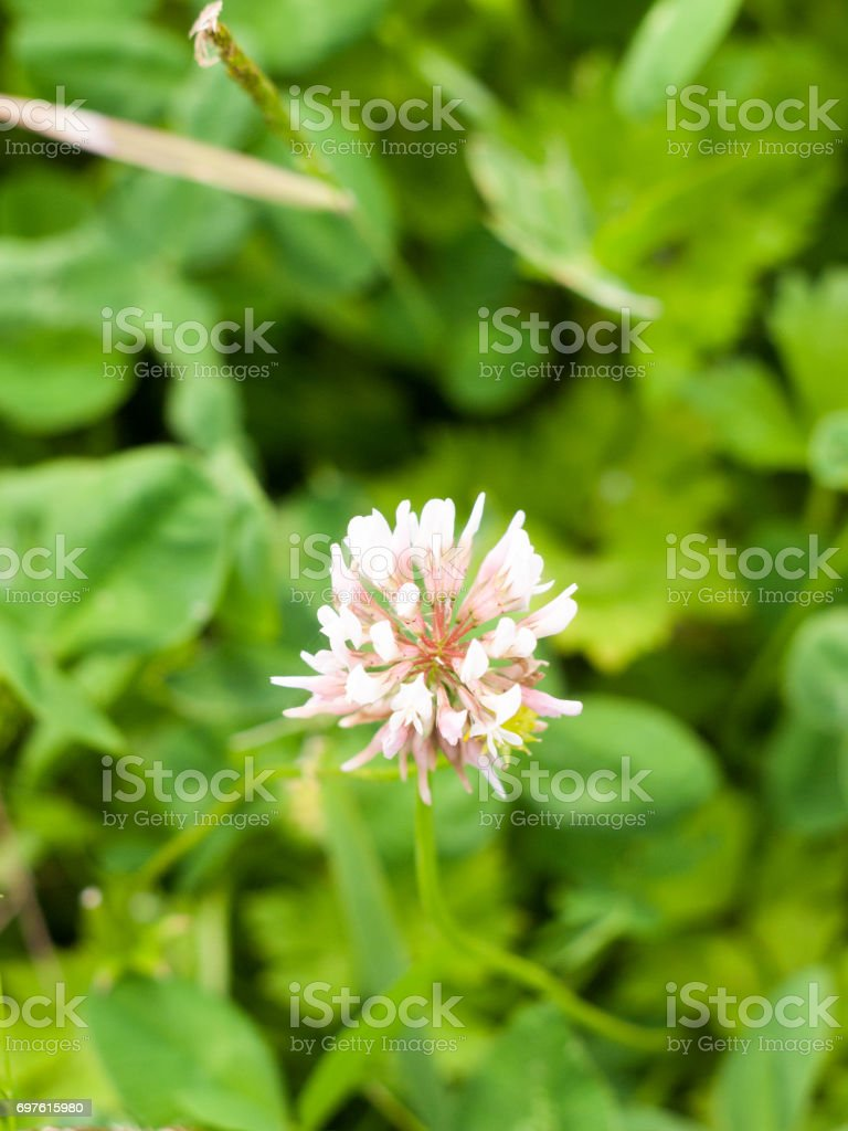 lovely white clover flower head stock photo