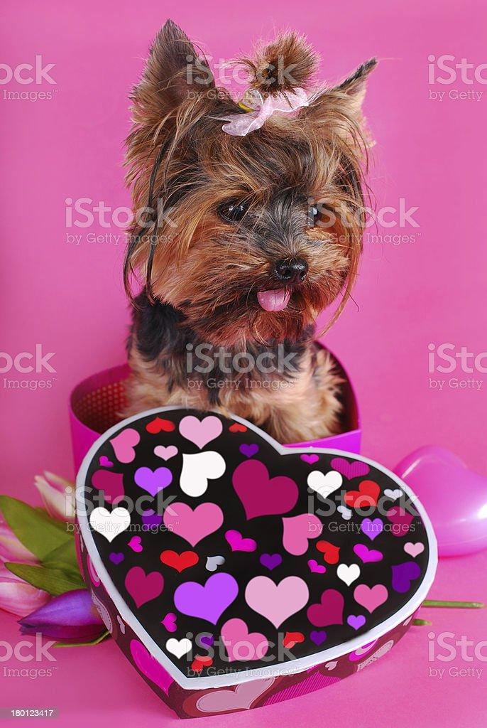 lovely yorkshire dog in heart shape box royalty-free stock photo