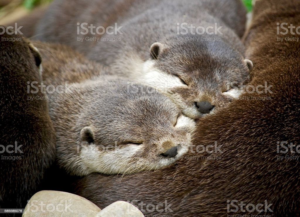 Lovely young otter family sleeping together  in UK stock photo