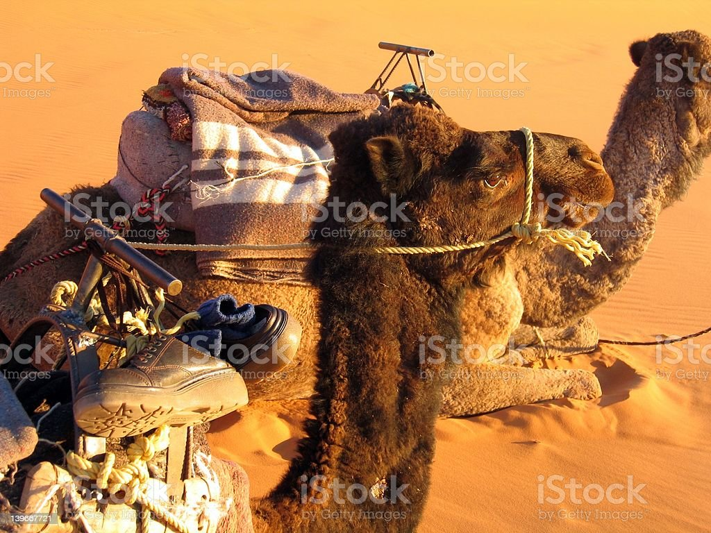 Lover camels royalty-free stock photo