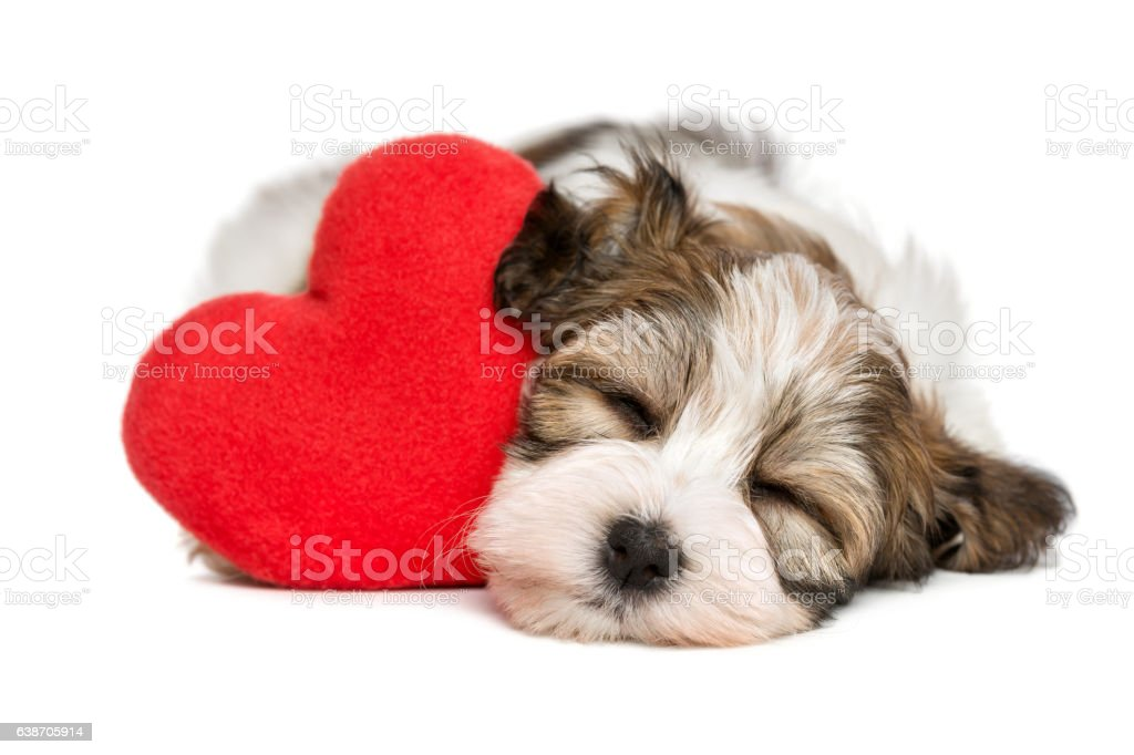 Lover Havanese puppy dreaming with a red heart stock photo