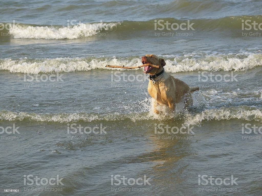Loves the Stick royalty-free stock photo