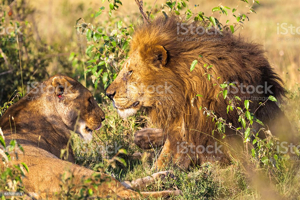 Loving couple. Lions in the savannah. Masai Mara, Kenya stock photo