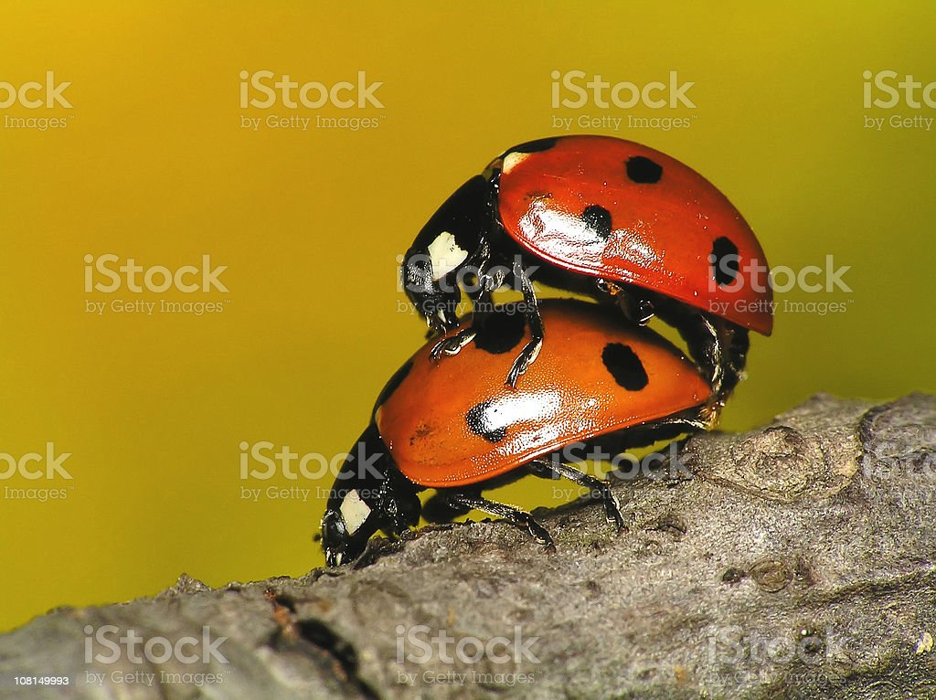 Loving each other Ladybugs stock photo
