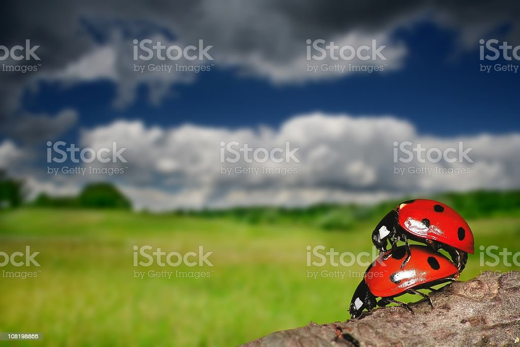 Loving each other Ladybugs royalty-free stock photo