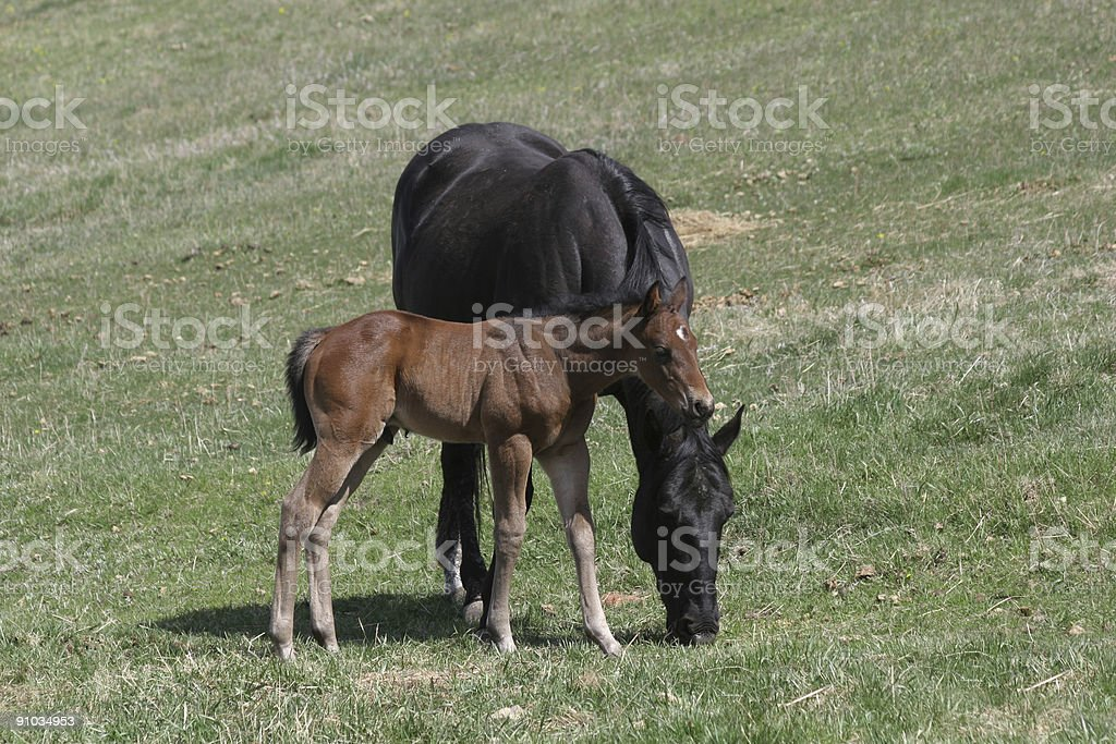 Loving mare and colt royalty-free stock photo