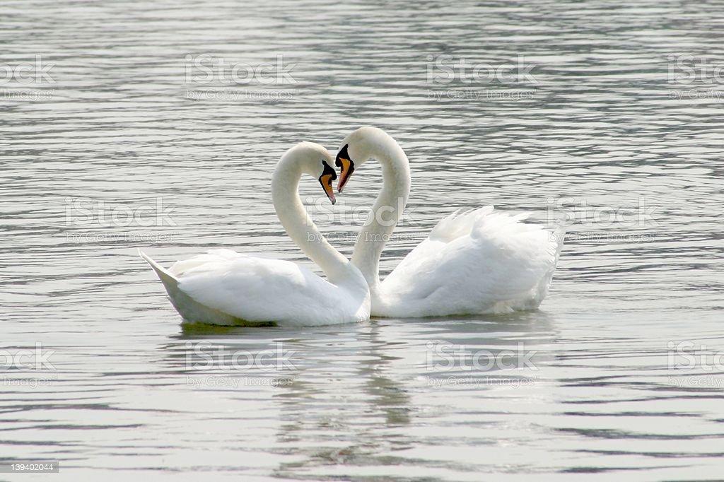 loving swans royalty-free stock photo