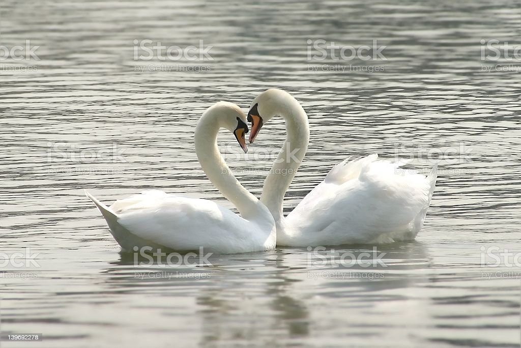 loving swans stock photo