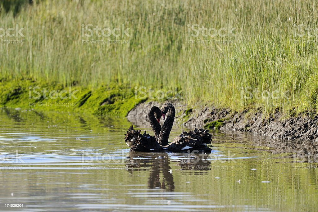 Loving swans stock photo