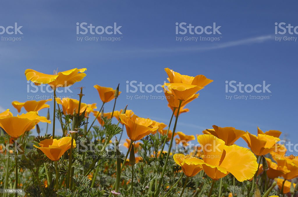 Low Angle Close-up of Blooming California Poppy Wildflowers royalty-free stock photo