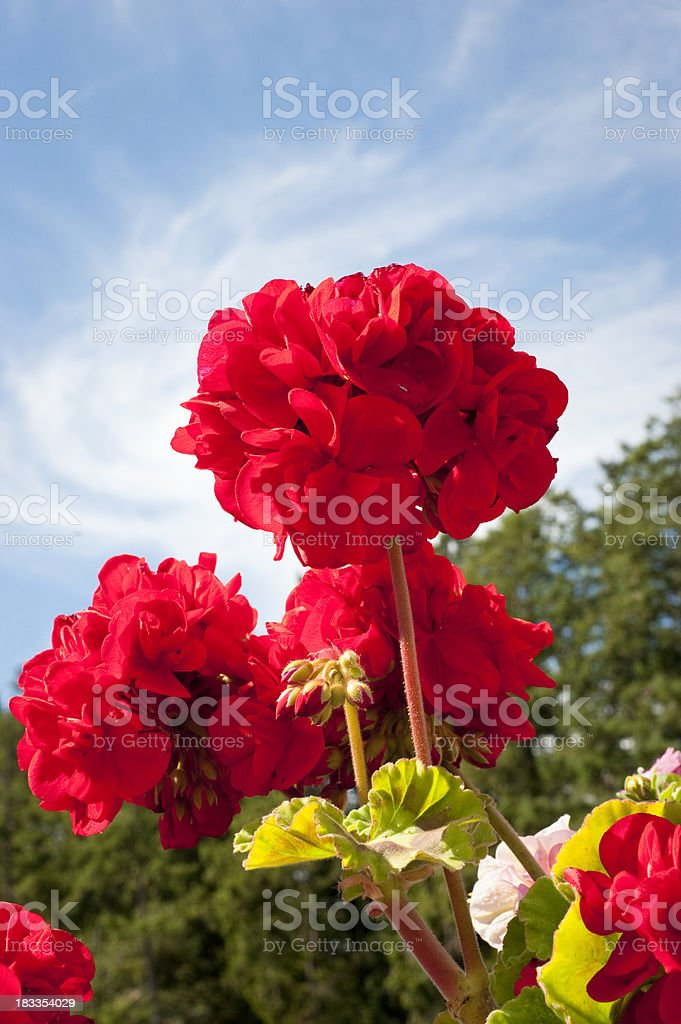 Low angle shot of red geranium flower royalty-free stock photo