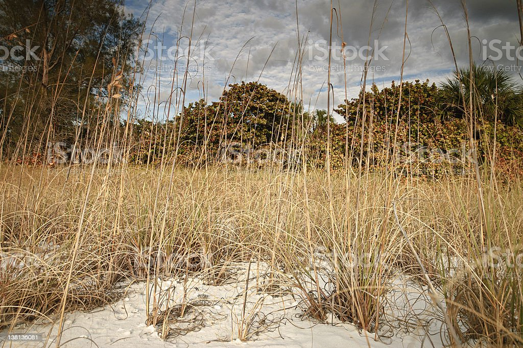 Low angle shot of sea oats on the beach royalty-free stock photo