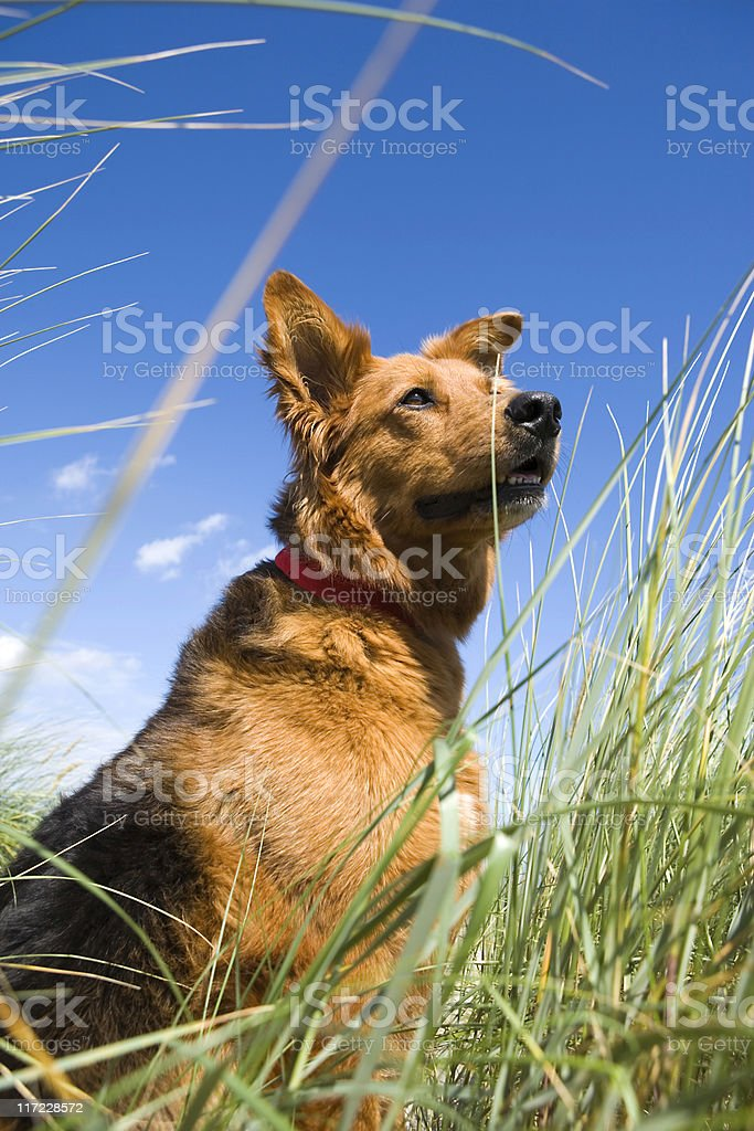 low angle view of a sitting labrador retriever royalty-free stock photo