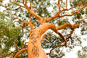 Low angle view of beautiful Australian Eucalyptus tree, nature background