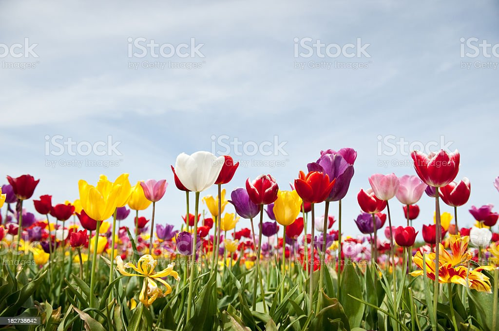 Low angle view of multi-colored tulips in bloom and blue sky stock photo