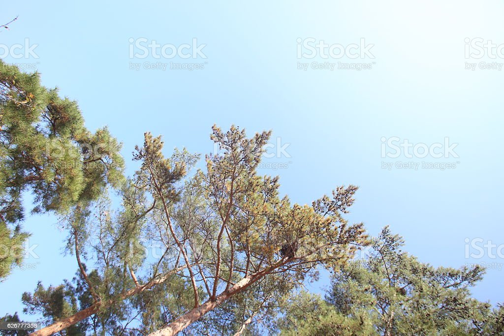 Low Angle View Of Pine Tree Against Clear Blue Sky stock photo