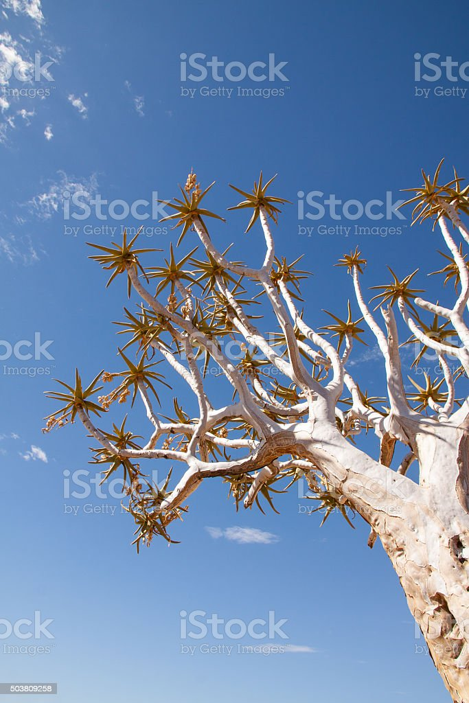 Low Angle View of Quiver Tree stock photo