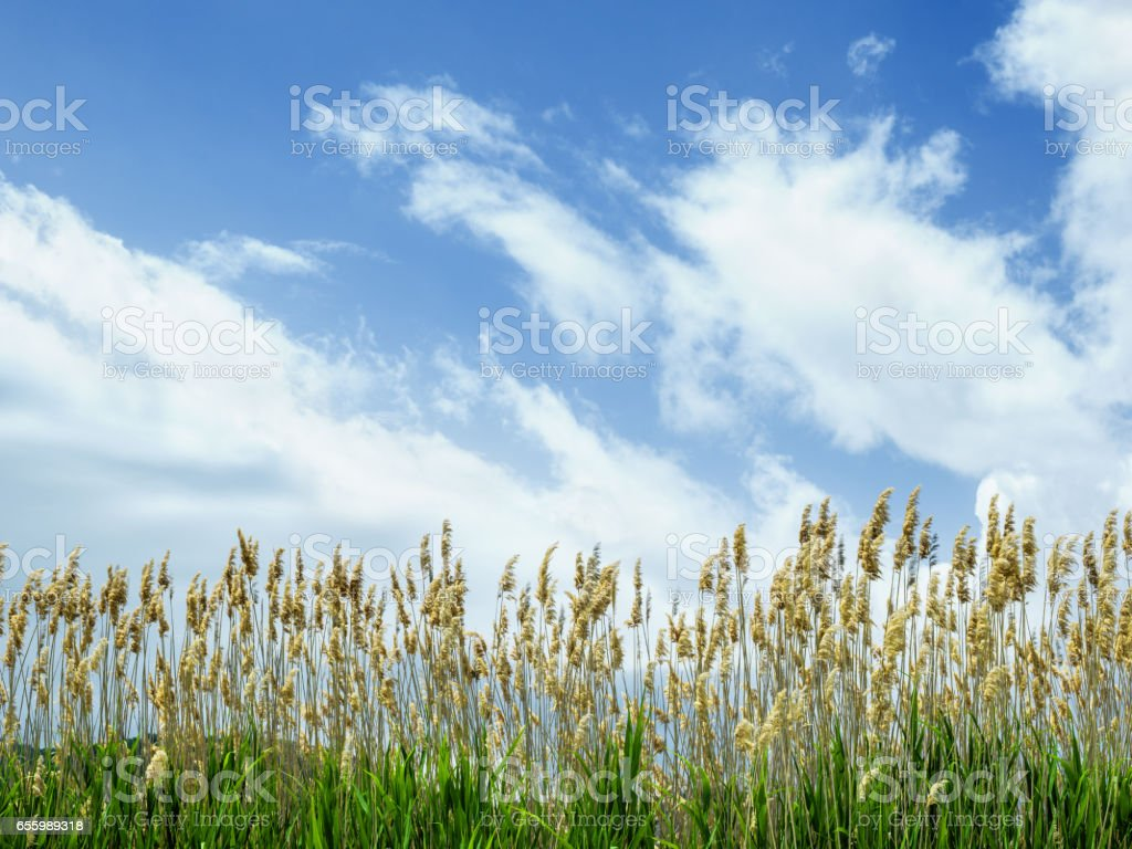 Low Angle View Of Reeds On Cloudy Blue Sky stock photo
