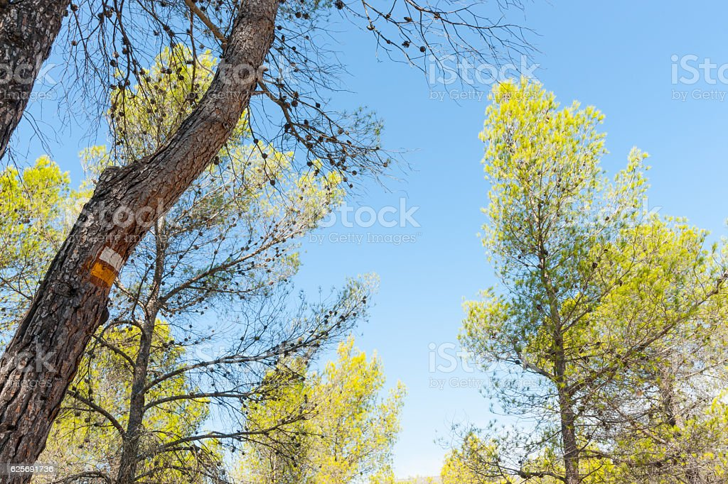 Low angle view of sky through pine trees stock photo