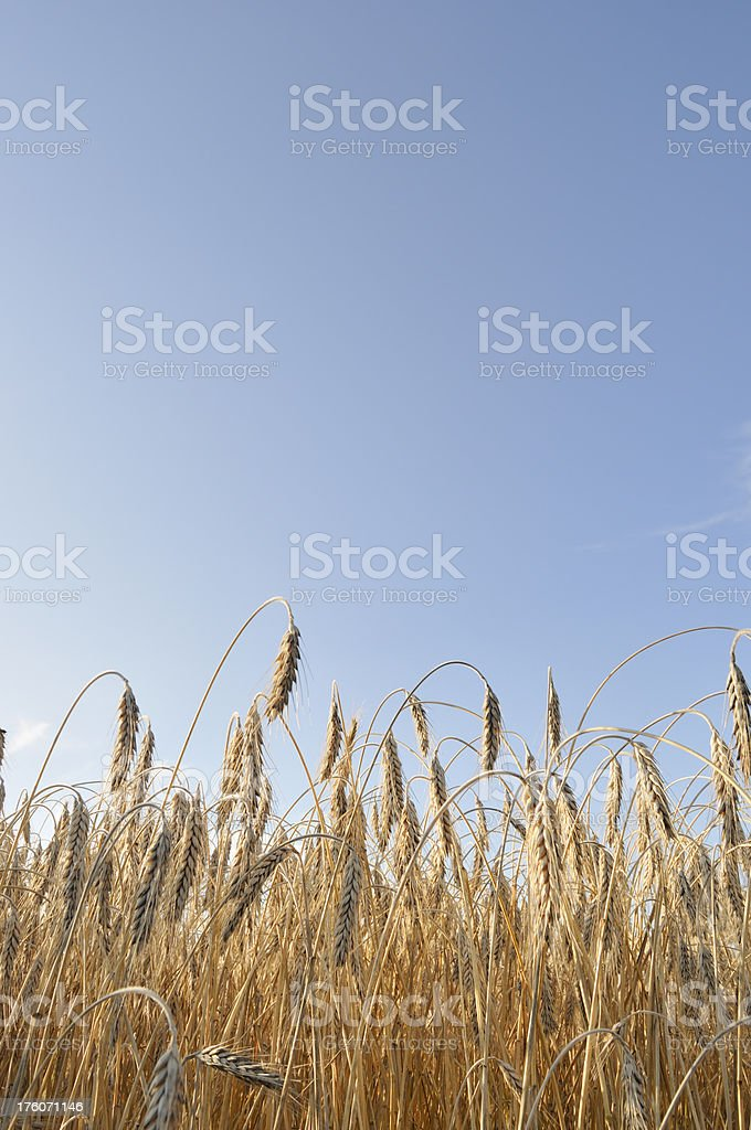 Low Angle Wheat Portrait royalty-free stock photo